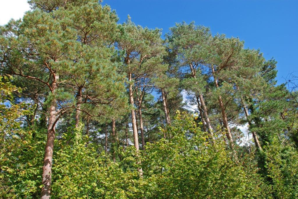 Picture of a Scot's pine forest on Coillte lands