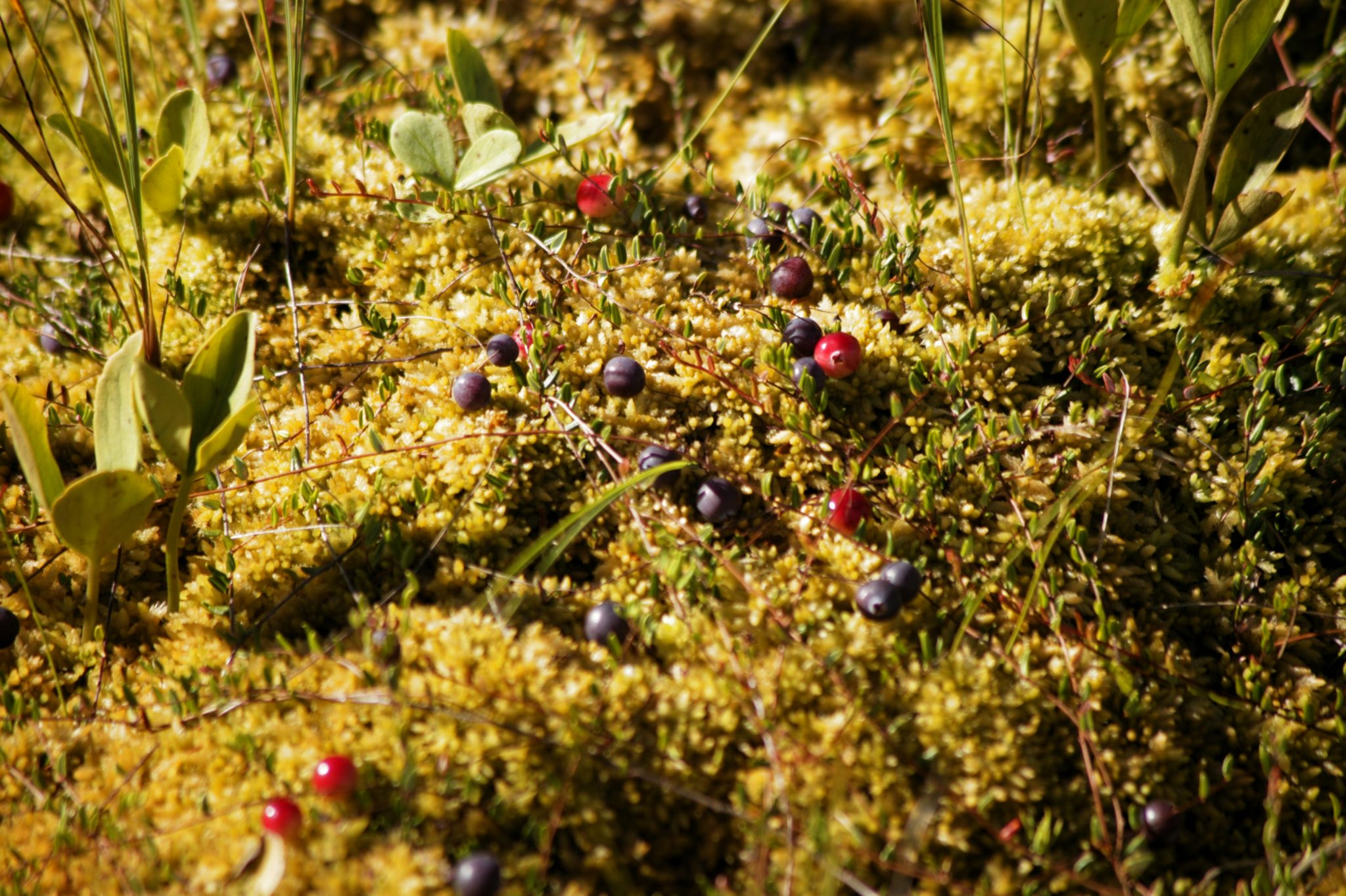 Picture of a cranberry on Coillte blanket bog