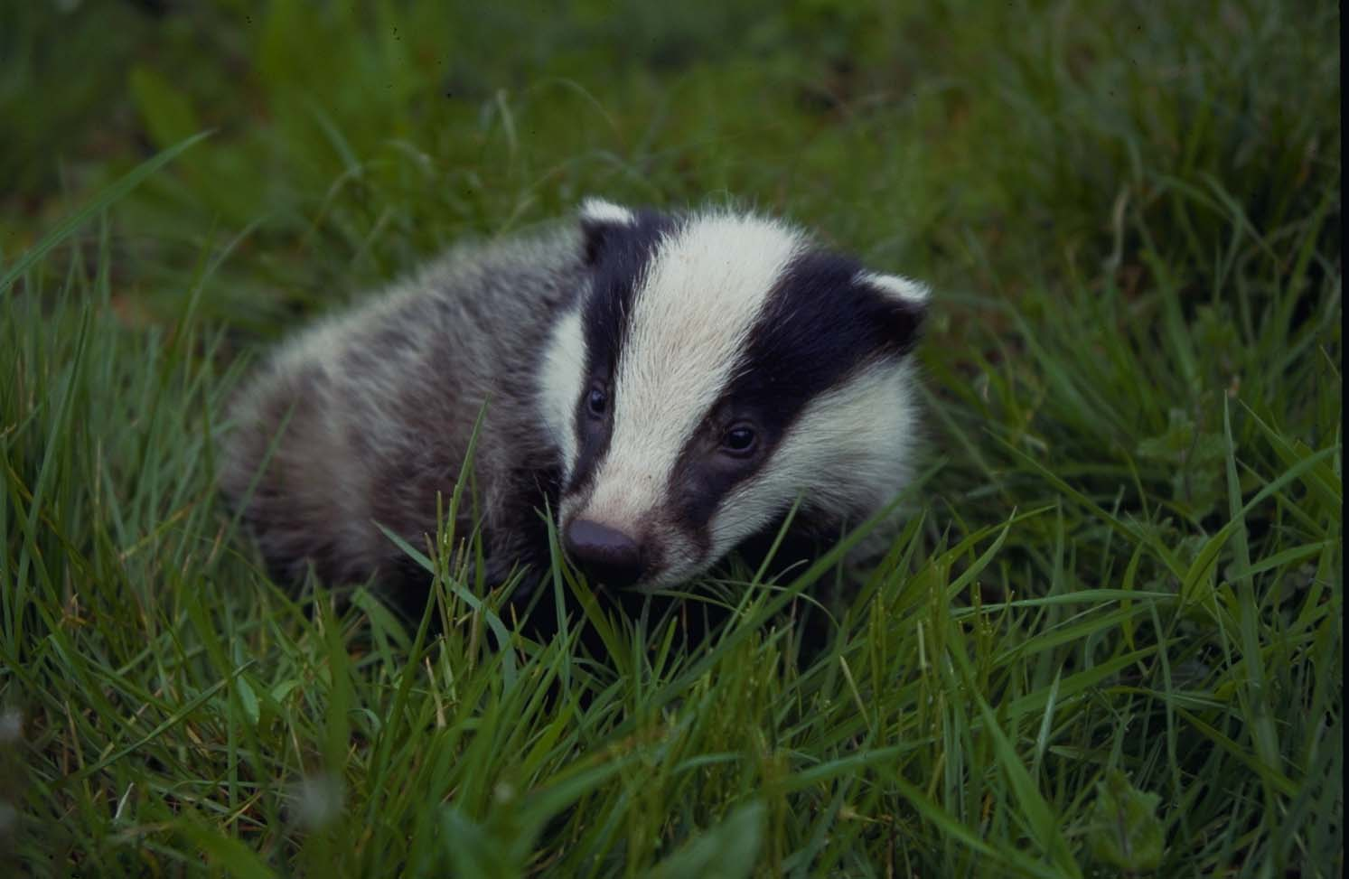 young badger cub in Collte woods