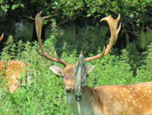 Pic by Laura Griffin of plastic bag on deer antlers