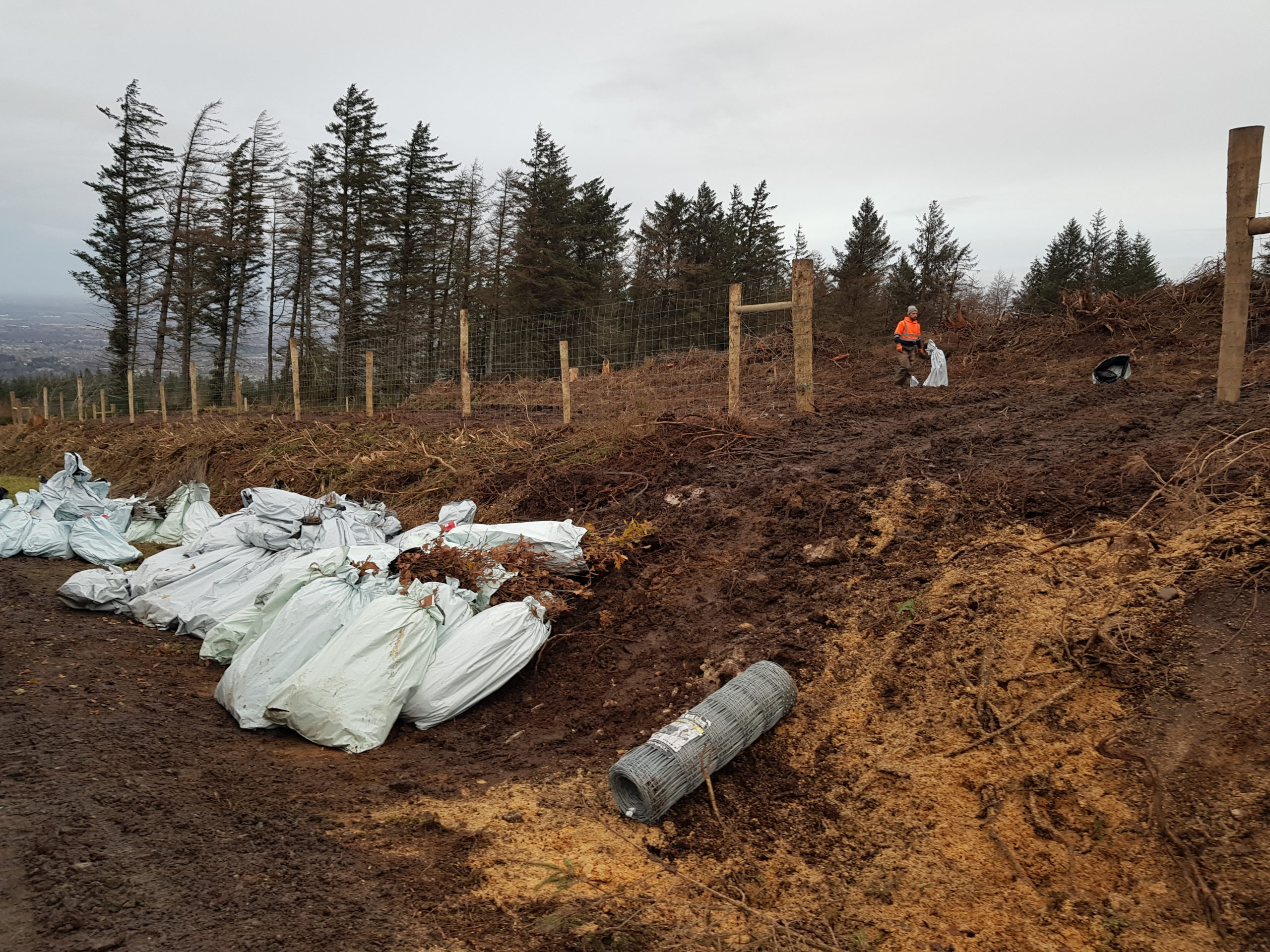 Planting the new pioneer birch native woodland