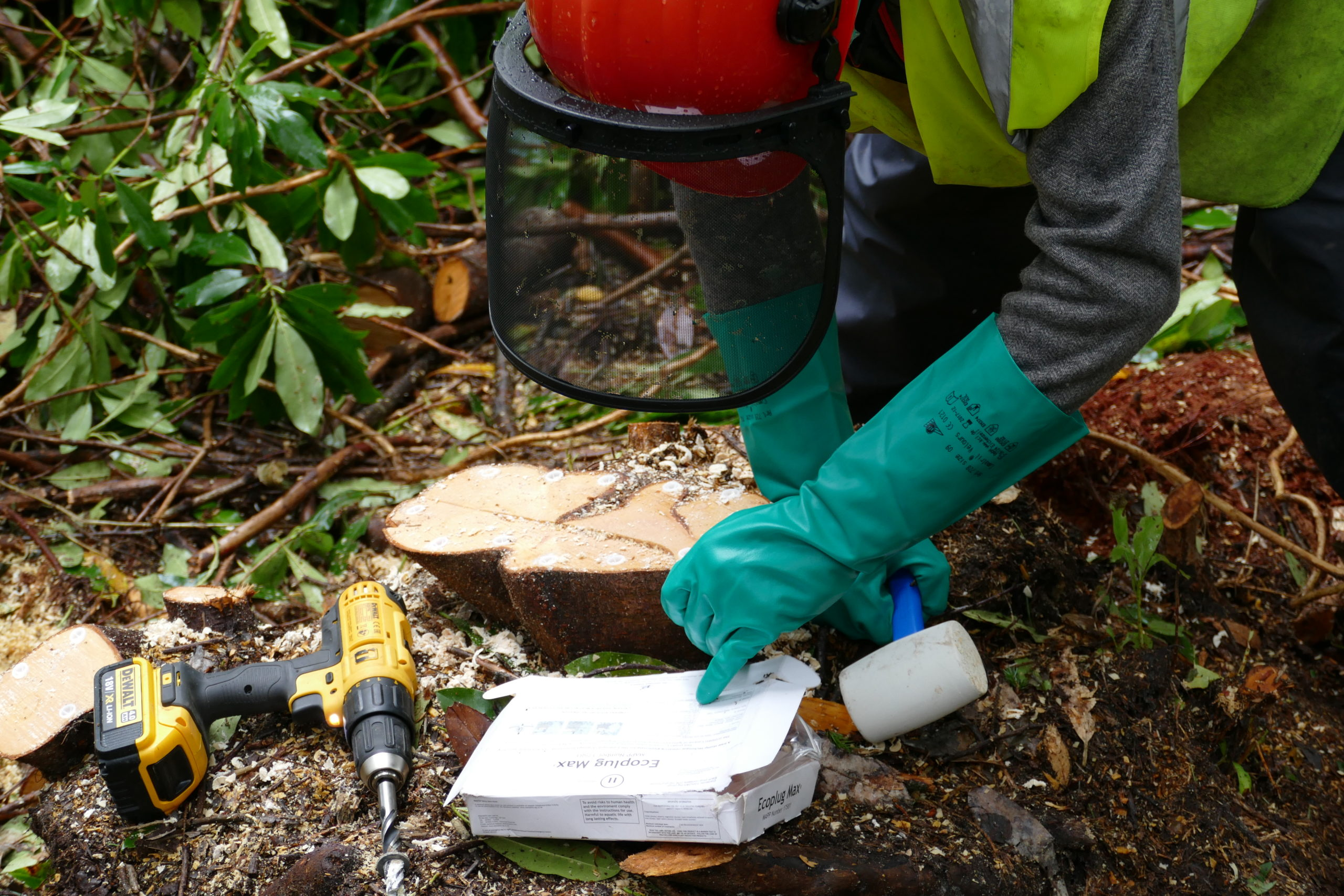 Contractor inserting eco-plugs into a rhododendron stump
