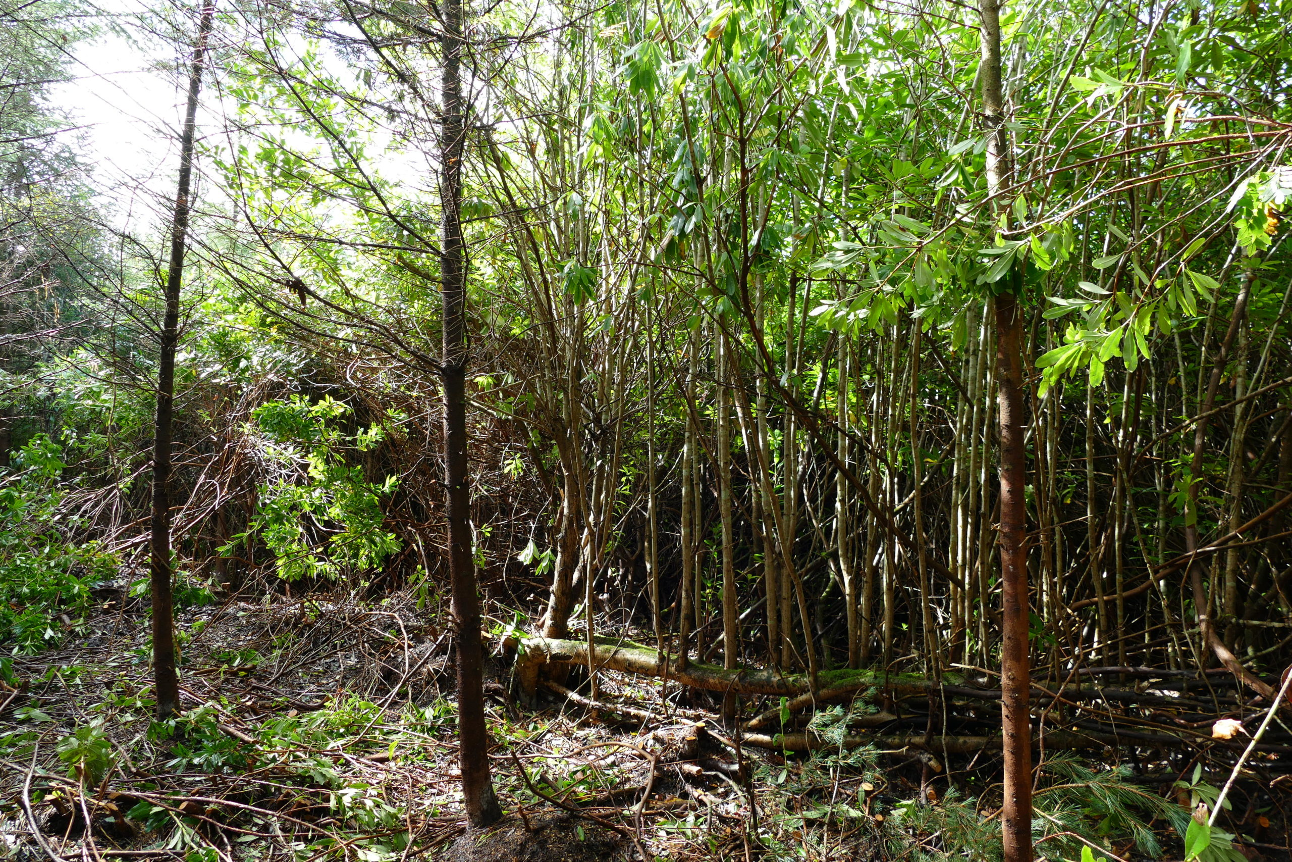 Invasive rhododendron choking a native woodland