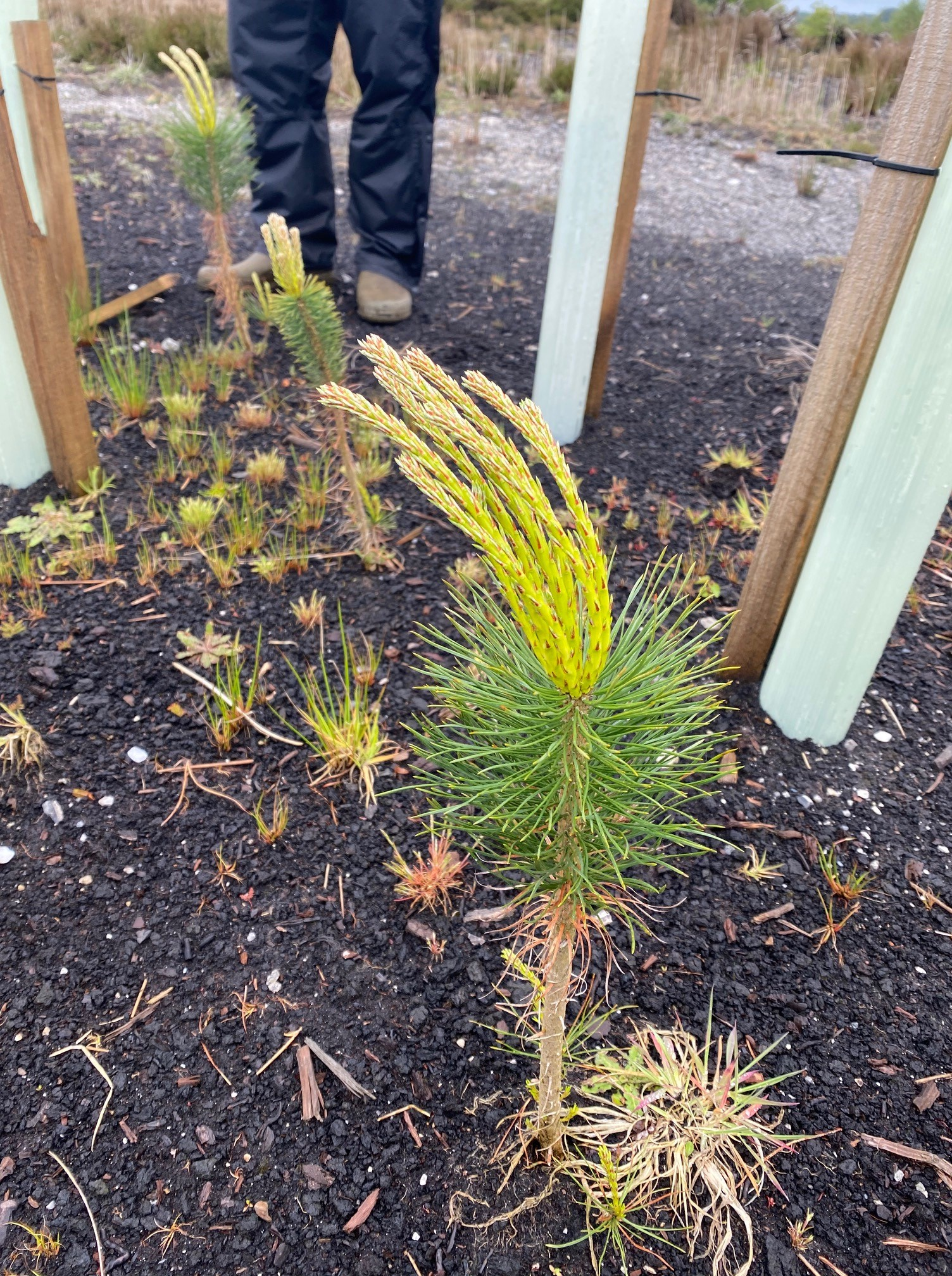 Scots pine planted bare root 2020