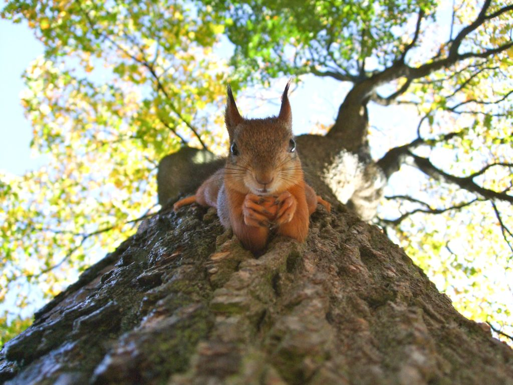 Red Squirrel clinging to a tree trunk